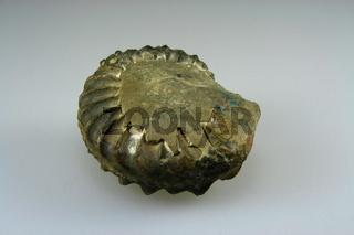 Fossil,Ammonit aus den Alpen