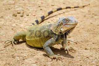 Close up green iguana standing on ground