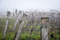 Winter vineyard with rain and fog in Burgenland