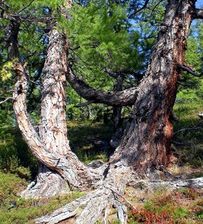 thick trunk of Siberian cedar. Coniferous tree.