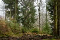 Forest in the bright fog with pines, deciduous trees and firs. Soil overgrown with moss and ferns