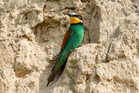Adult european bee-eater sitting on a sandy ground in nesting colony