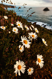 Wildflowers and Daisies on the Cliff Above the Ocean