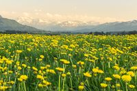 Yellow flowers meadow and beautiful view to snow covered mountains. Evening sunset light and alpenglow. Kempten, Bavaria, Alps, Allgau, Germany.