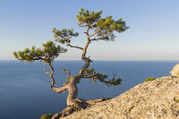 Relict pine above the sea.