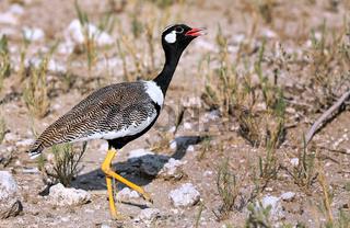 Gackeltrappe, Etosha NP, Namibia, black korhaan, black bustard
