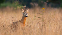 Roe deer standing in tall grass in springtime nature