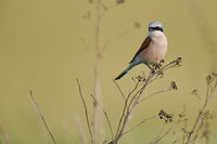Red-backed shrike at Lake Neusiedl
