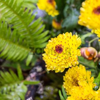 beautiful yellow little chrysanthemum closeup
