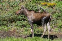 Moose, Alces alces