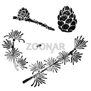 Larch elements for design isolated on white. Larix decidua branch, cone, seed.