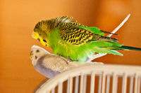 Budgerigar (Melopsittacus undulatus) as pet