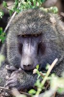 monkey Olive baboon Ethiopia, Africa safari wildlife