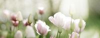 tulpen rot hellrot licht trauer