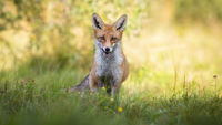 Interested red fox on meadow in summer at sunrise from front view