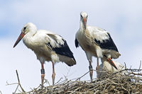 White Stork young birds on the aerie