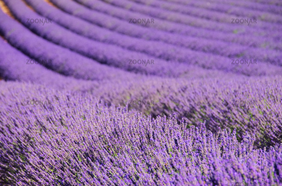 Lavendelfeld - lavender field 100
