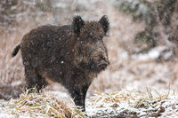 Big wild boar walking on meadow in nature during snowing.