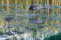 Common crane family
