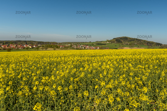 Mountain Katzenbuckel in the Odenwald with Blooming Rapeseed Field in Foreground, Germany