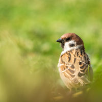 sparrow in the meadow