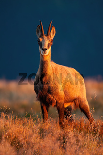 Adult tatra chamois looking to the camera in sunset.