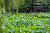 Lotus flowers in the Lianhu Park in Xian