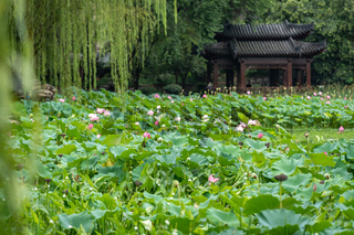Lotus flowers in the Lianhu Park in Xian