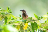Tacazze Sunbird perched on tree Ethiopia wildlife