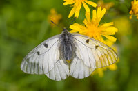 Male Clouded Apollo, Parnassius mnemosyne