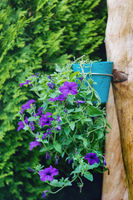 Petunia Surfinia hanged in pot