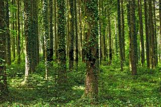 Märchenwald - Fichtenwald mit Efeubewachsenen Bäumen