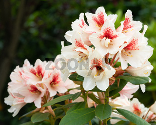 Rhododendron Hybrid Amber Kiss, Rhododendron hybride