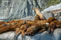 Golden brown sea lions sunning on rocks