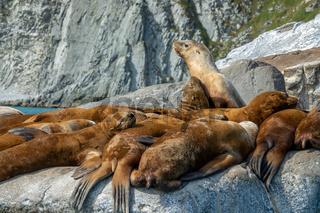 Golden brown sea lions sunning on rocks