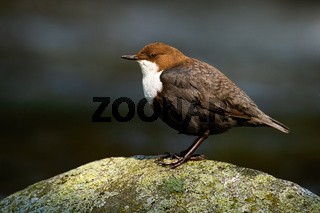 Lovely white-throated dipper sitting stone at sunrise with dark background in shadow