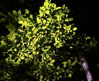 Branch with beech leaves in transmitted light in front of the sun