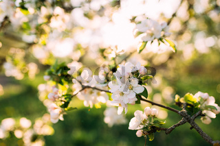 Apple buds bloom in spring. Apple blossom. Spring garden. Blurred background