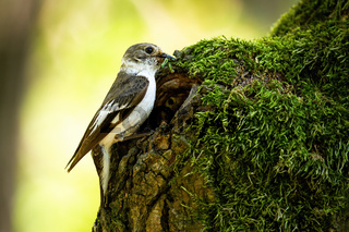 European pied flycatcher bringing food into the nest in old moss-covered tree