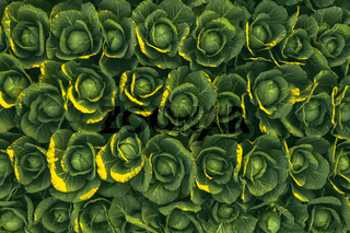 Sunset over a field of cabbage aerial view from above