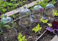 Gläserne Anzuchtglocken stehen in einem Beet mit jungen Pflanzen