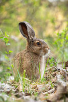 Young brown hare sitting in grass in spring nature