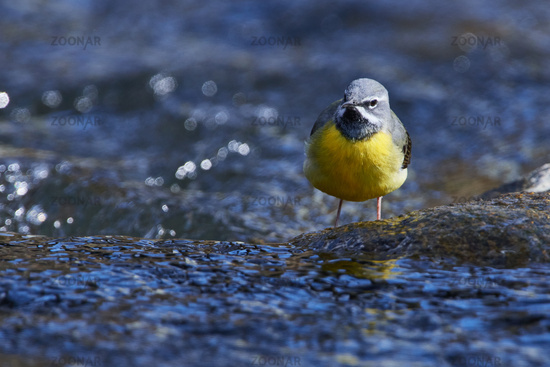 Grey wagtail in spring