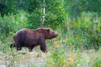 Kamchatka brown bear Ursus arctos piscator in natural habitat, walking in summer woodland. Kamchatka