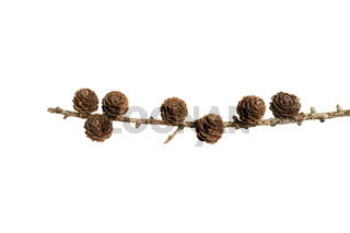 Pine cones on a branch isolated on white background
