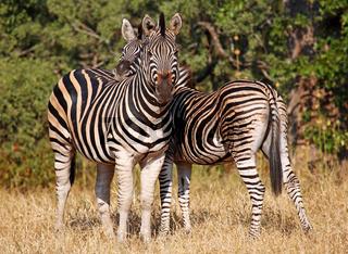 Steppenzebras, Südafrika, Kruger Nationalpark, South Africa, Plains Zebras, Perissodactyla, Equus quagga