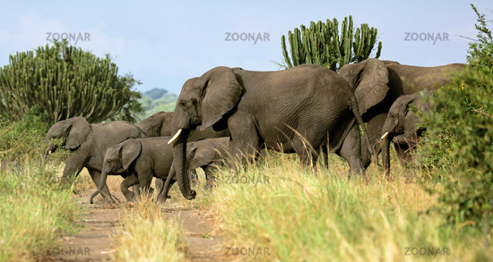 Elephants at Queen Elizabeth National Park, Uganda (Loxodonta africana)
