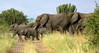 Elephants at Queen Elizabeth National Park, Uganda (Loxodonta africana)