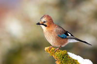 Alert eurasian jay sitting on mossed twig in winter