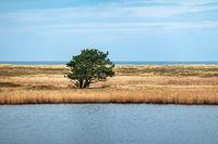 Baum im Schilf auf dem Fischland-Darß.